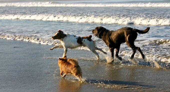 dogs running on california beach marina del rey