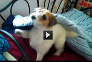 Jesse terrier puppy dog picture funny video