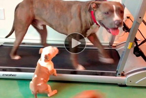 Post image for Funny Dog Video | puppy's many funny attempts to join dad